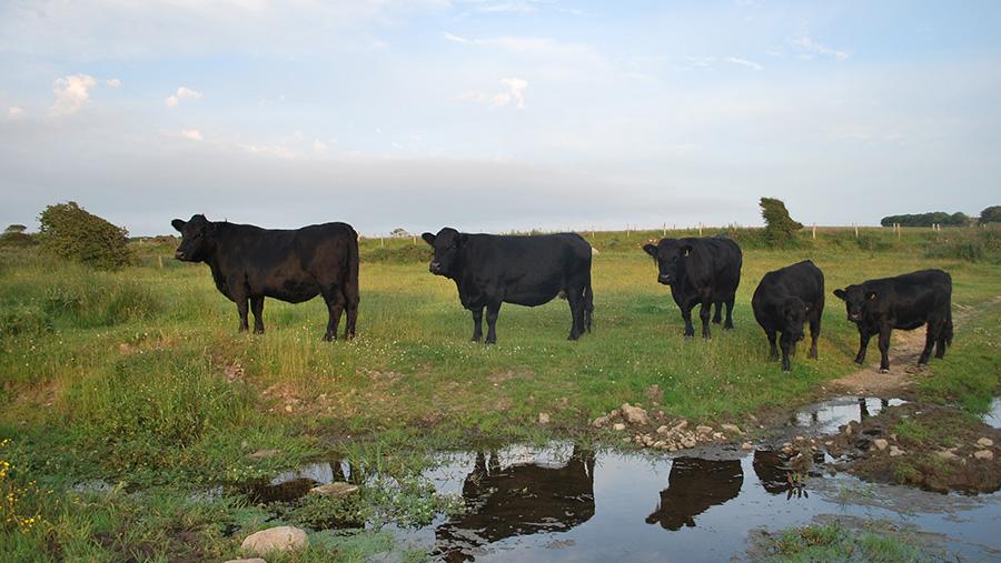 The Tyddewi herd