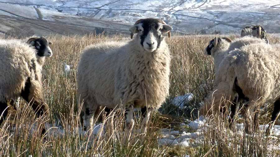 upland sheep