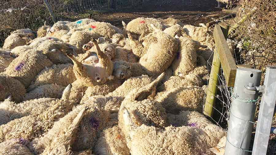 Dead sheep after worrying incident © Sussex Police