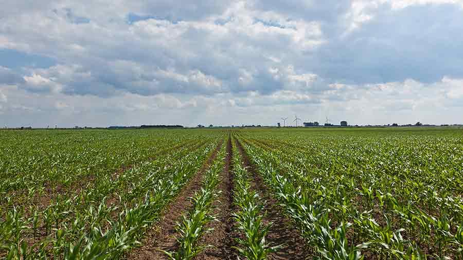 Field of wheat on West Fen Farm