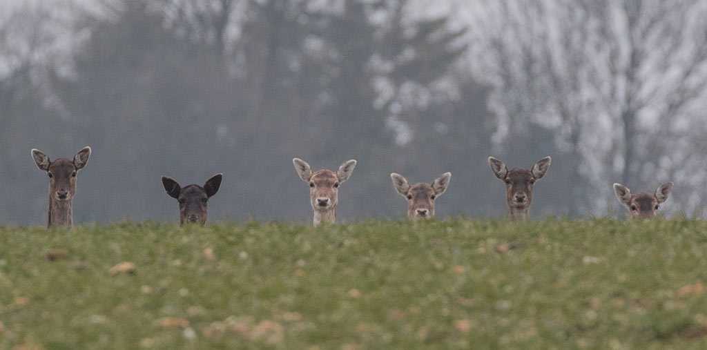 Deer stood in a row