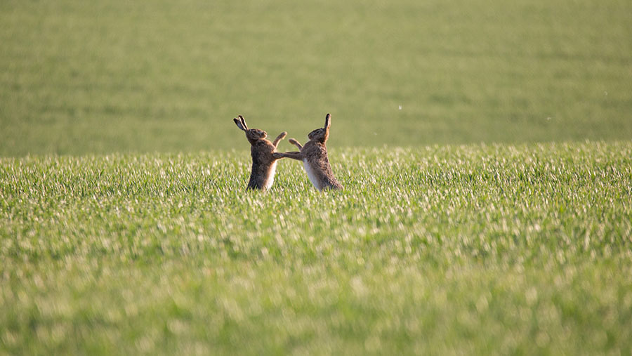 Hares boxing in a field