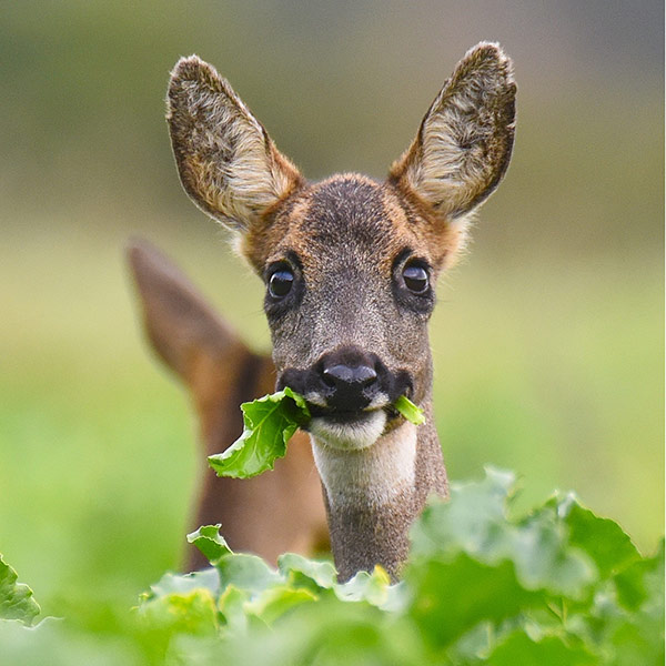 Roe deer chomping on sugar beet leaves