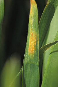 Signs of yellow rust infection