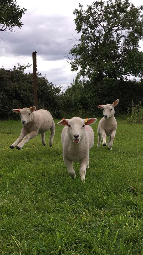 Three lambs skipping in field