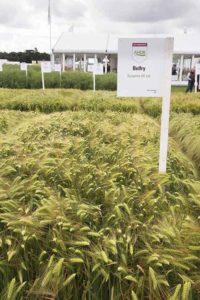 Six-row hybrid barley variety Belfry
