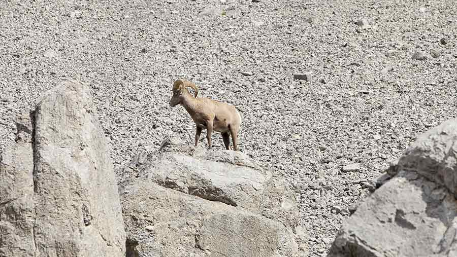 Big horn sheep on mountain © Global Warming Images/REX/Shutterstock