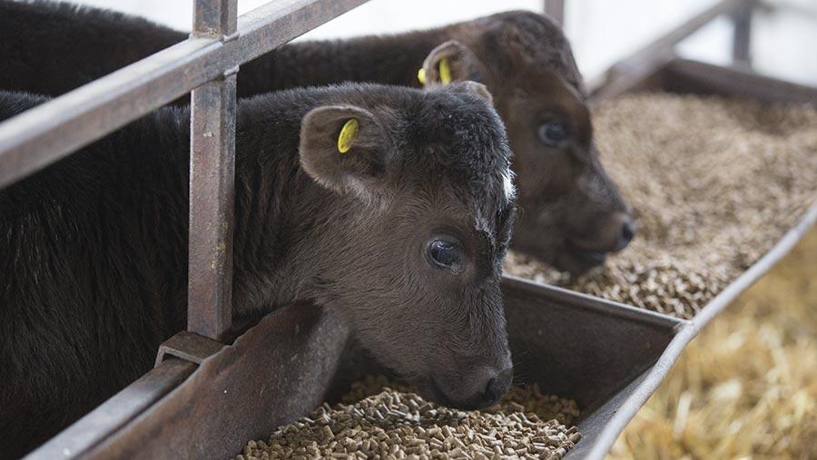 Dairy calf feeding