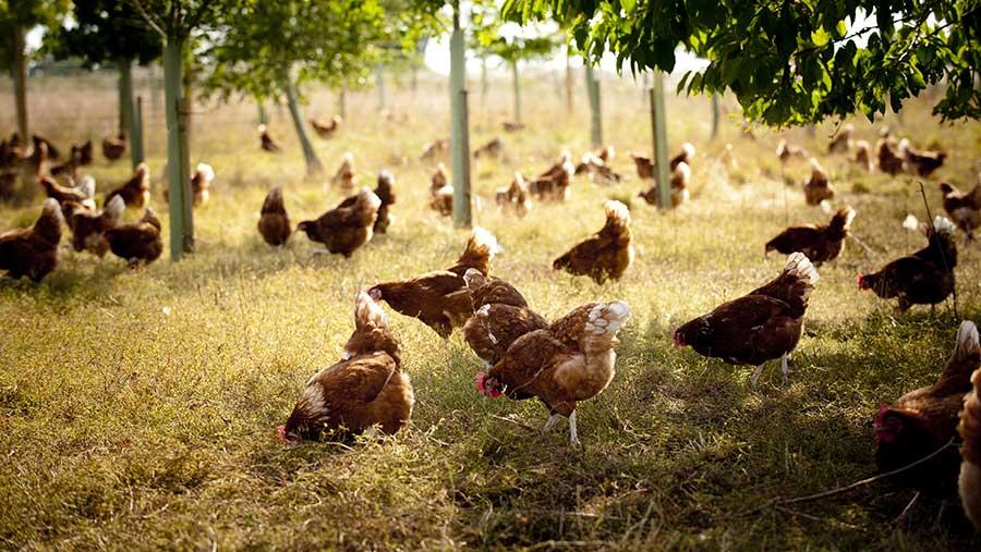 Chickens under trees  © Jim Varney