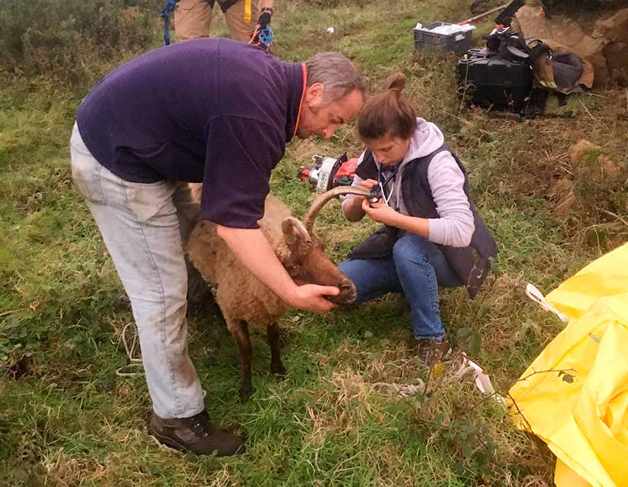 Sheep being inspected after rescue