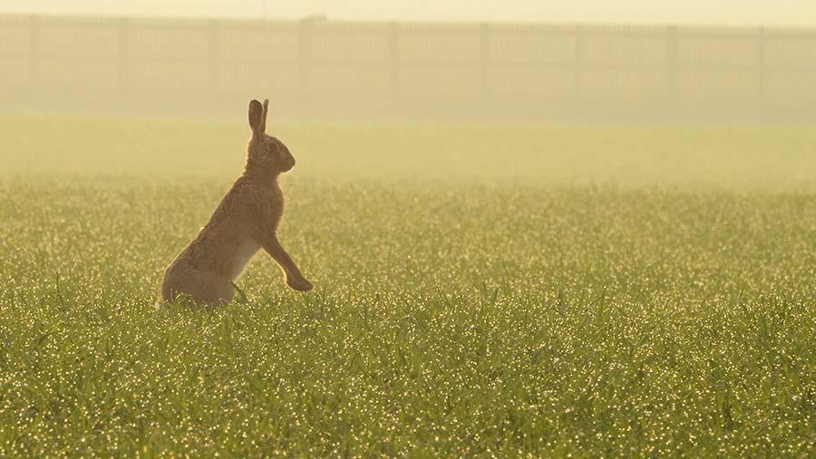 Hare in a field © Katy Gambles