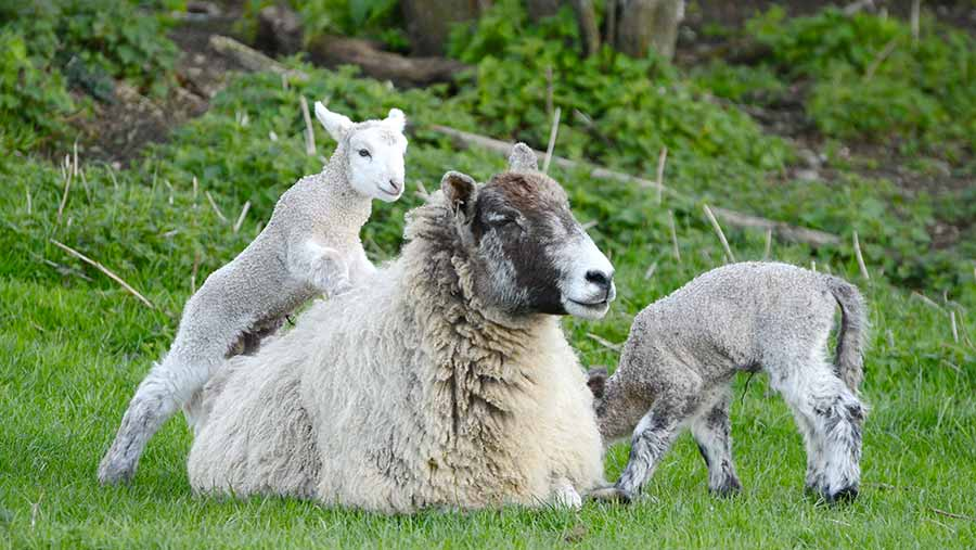 Ewe and lambs © Katy Gambles