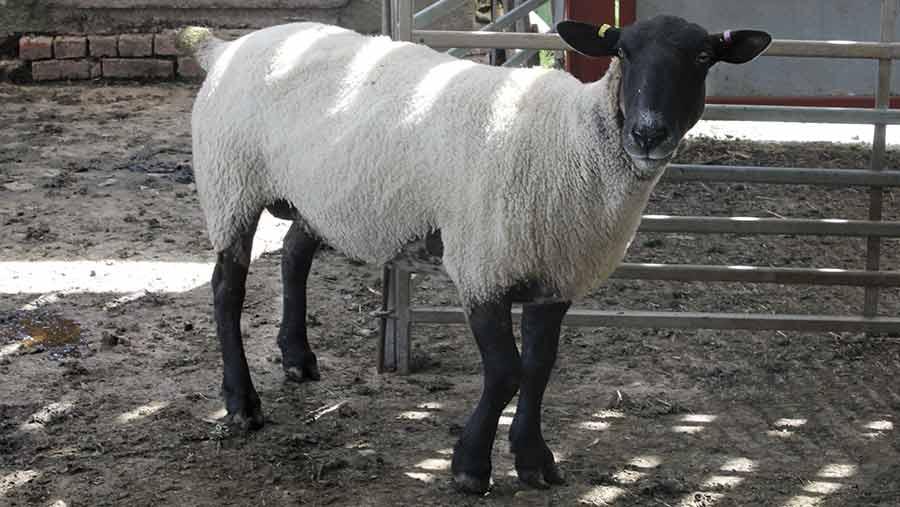 lame sheep