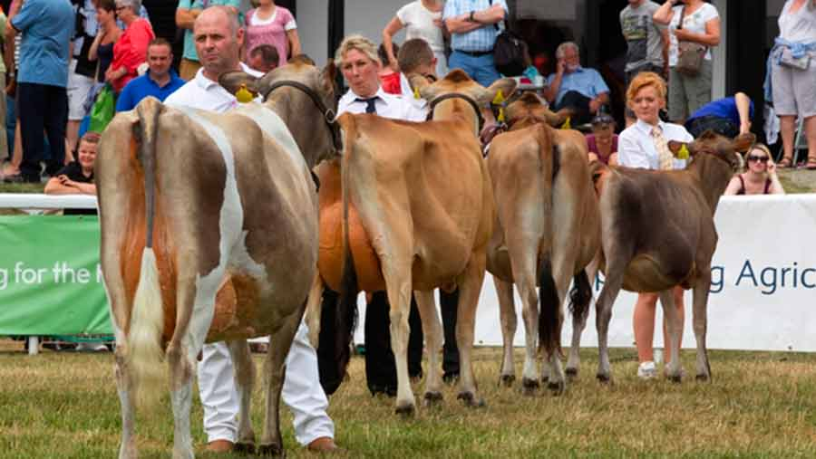 dairy cattle at show