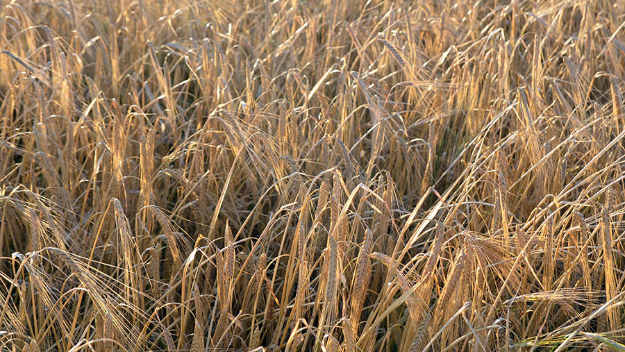 naked-barley-with-loose-hull-2