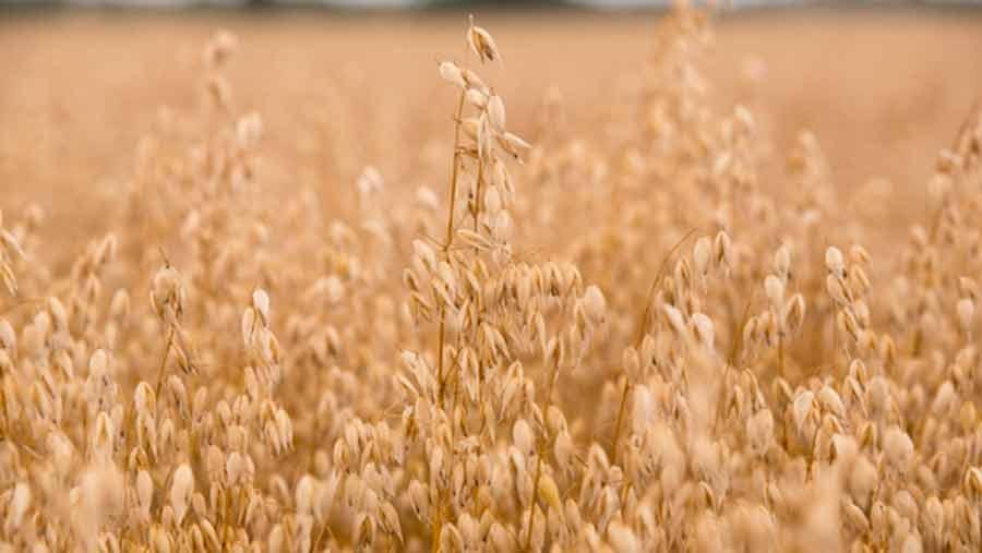 oats in field