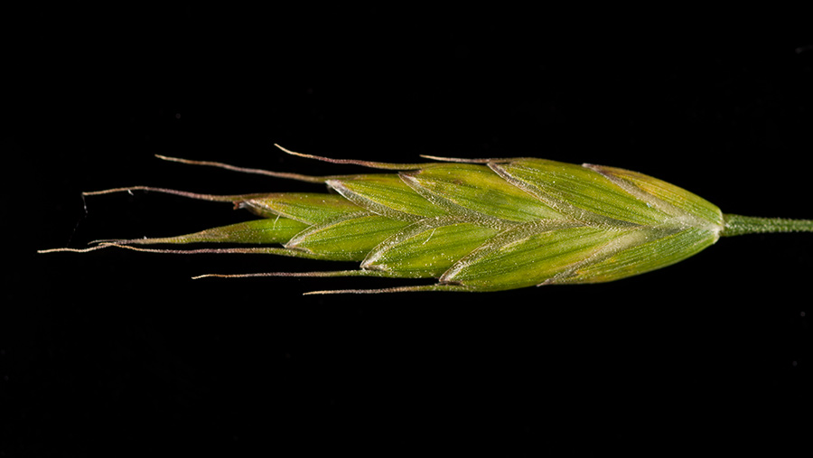 Soft, meadow and rye brome have more oval-shaped spikelets