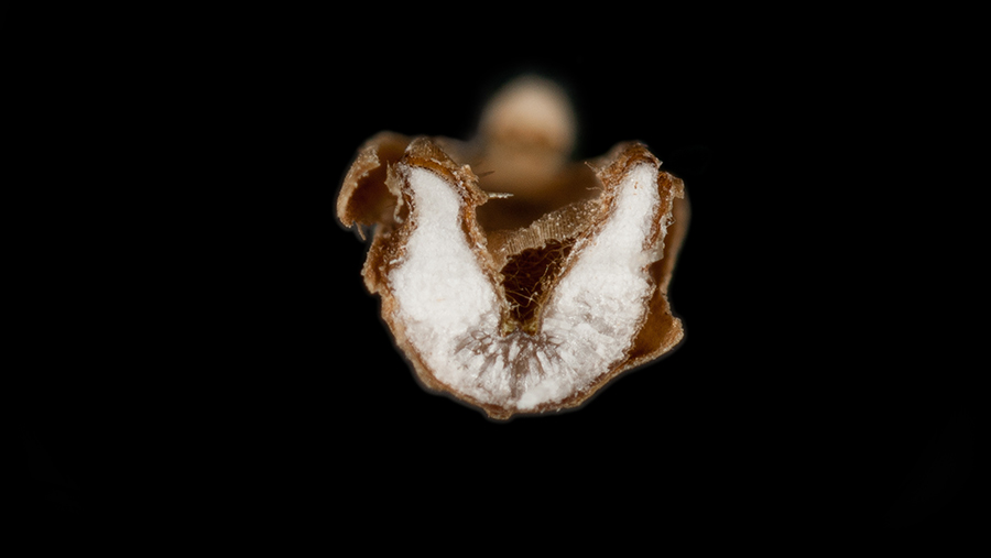 Rye brome has seed with a 'V'- or 'U'-shaped cross-section
