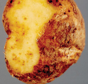 A root knot nematode infested tuber