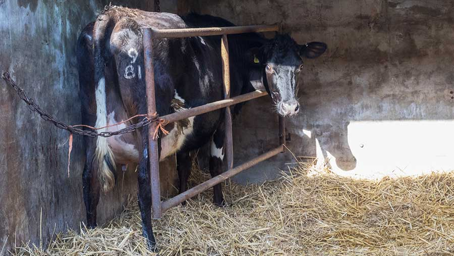 Cow secured pre calving © Kathy Horniblow