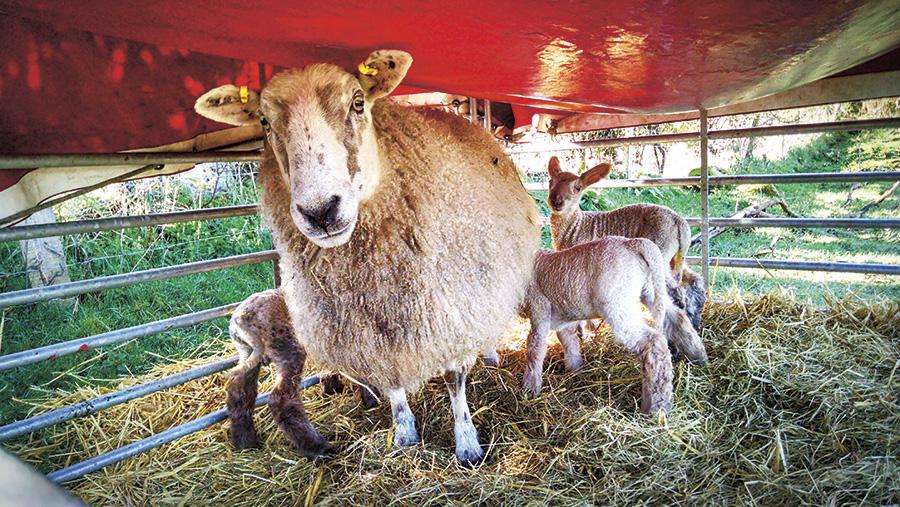 Sheep in a yurt