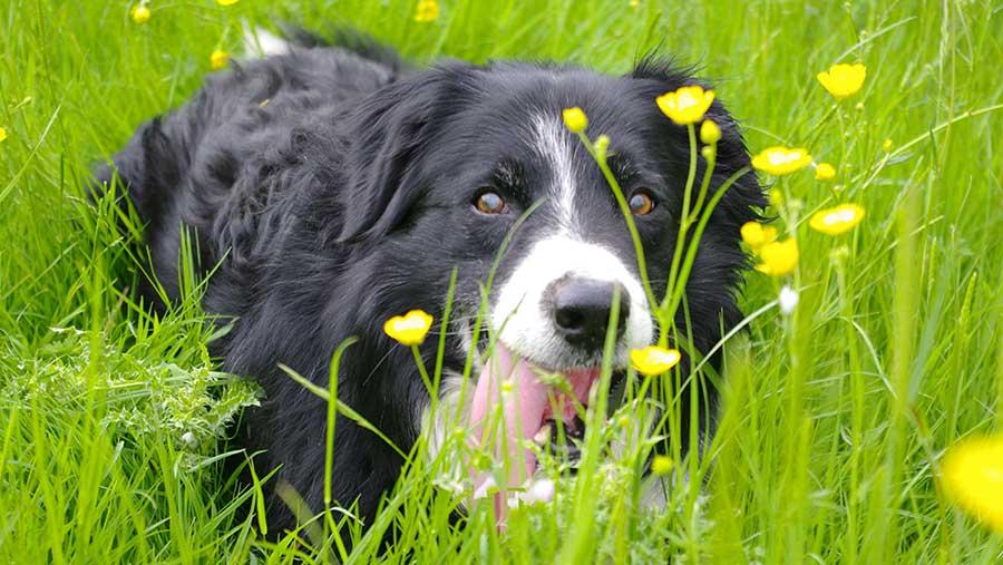 Sheepdog in grass © Katy Gambles