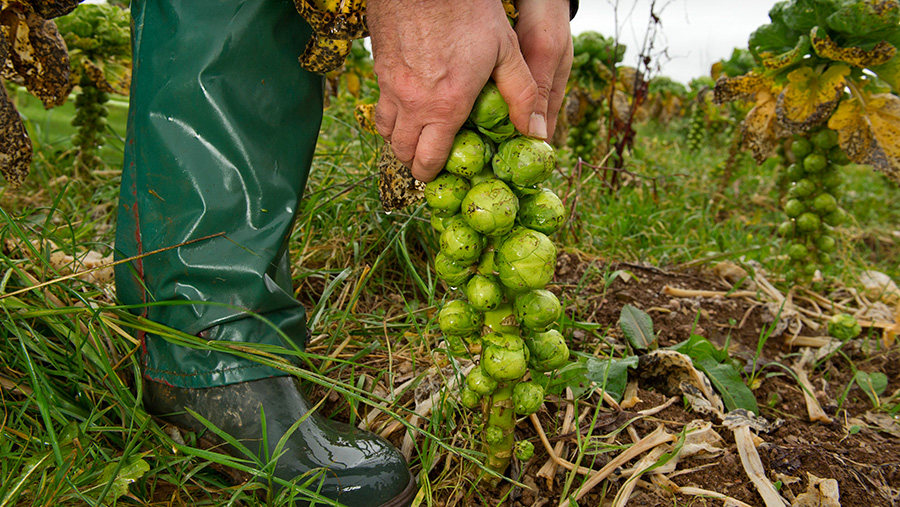 Sprouts being harvested