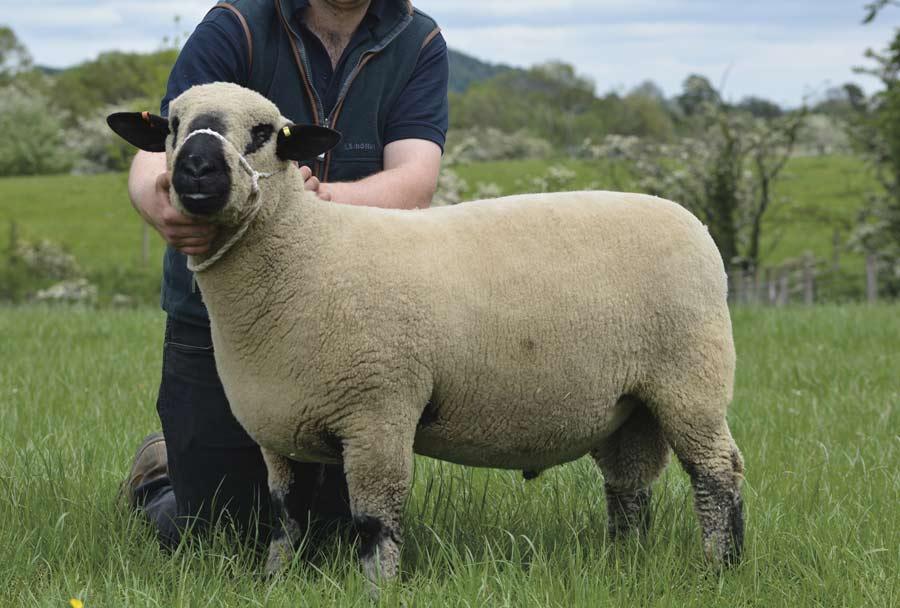Shearling ram