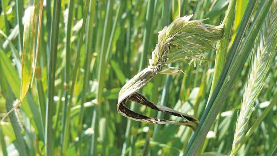 Striped smut in rye
