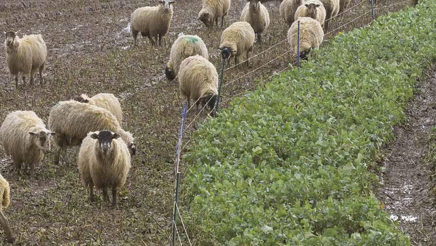 Ewes grazing stubble turnips © Tim Scrivener
