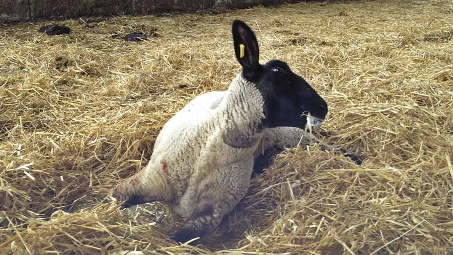 A sheep showing signs of listeria
