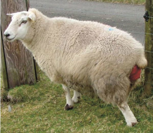 Sheep with a prolapse