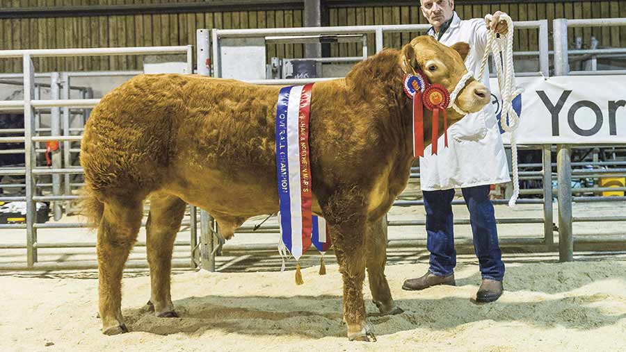 Champion-from-John-Smith-Jackson-pure-bred-Limousin-steer-by-Lodge-Hamlet-sold-for-3000