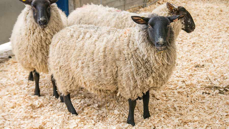 Lambs stand in pen with woodshavings for bedding