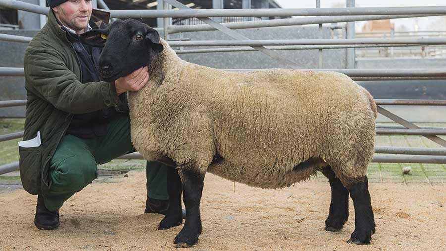 Soutra Suffolks