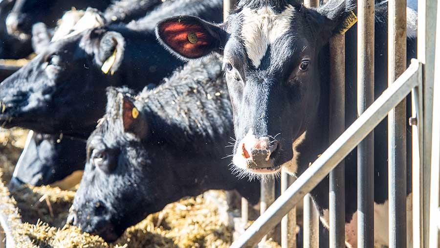 Heifers at New Farm, Cheshire