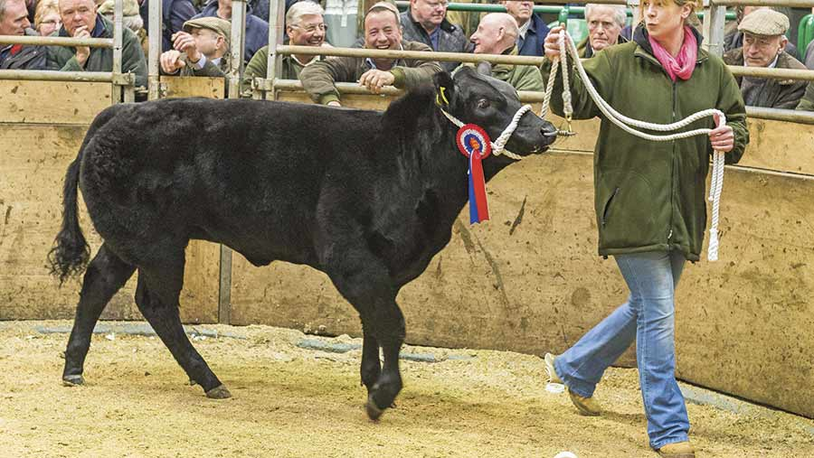 Reserve-Champion---Limousin-x-heifer-from-E-Telfer-&-Son,-High-House-sold-for-3100