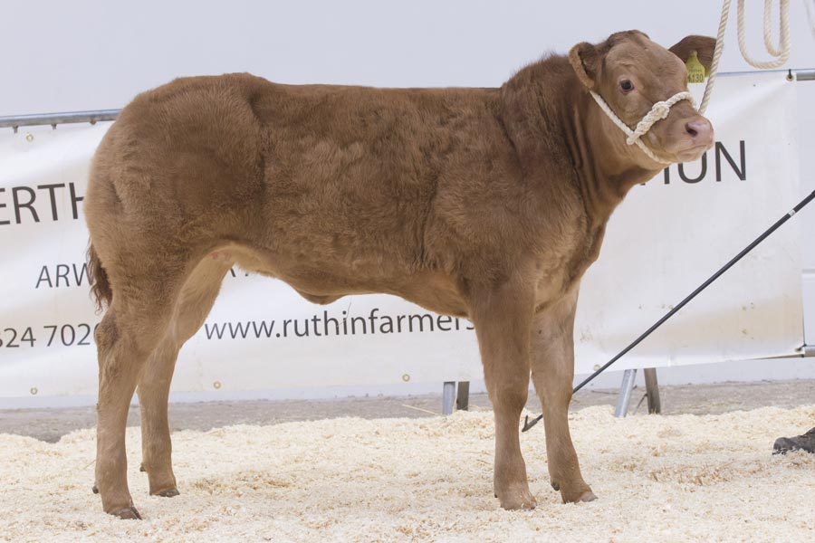 Sale leader Limousin heifer from KI, E & H I Jones