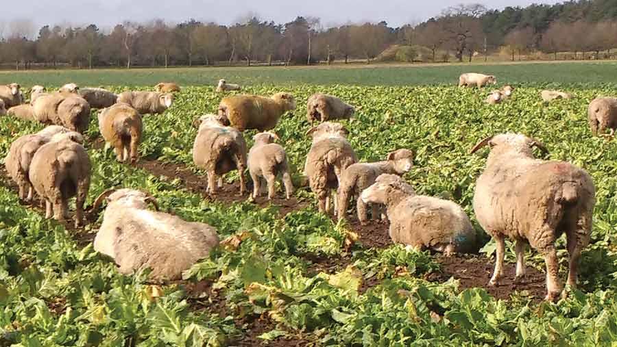 Sheep eating crop