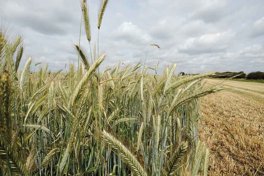 Beck Hill Farm's rotation includes winter rye grown on contract for Ryvita © Tim Scrivener