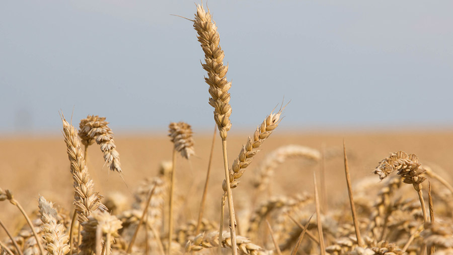 Ripe winter wheat ready for harvest