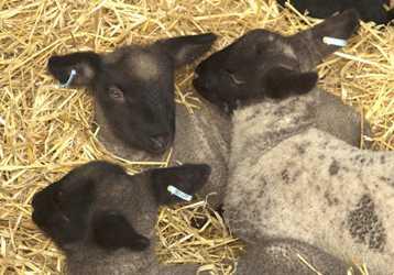 sheep tag