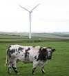 Cow and wind turbine