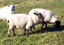 Sheep FIG-1