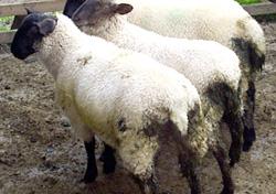 Sheep FIG-2