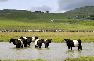 Cows in flooded fields - 2