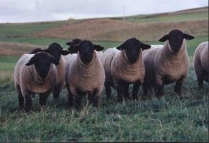 suffolk- sheep 2