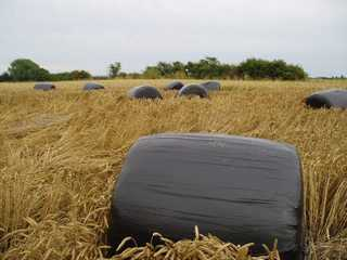 bales in wheat