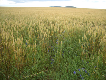 No wet summer for this Ukrainian wheat