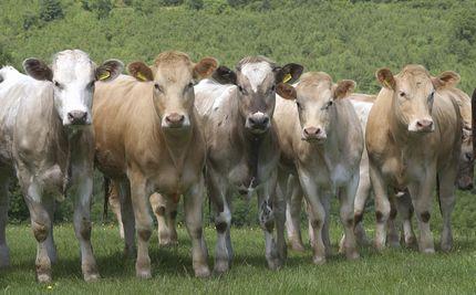 Cattle - Vaccine